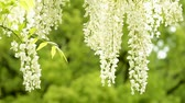 wisteria : White wisteria flowers in front of fresh green blur