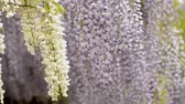 wisteria : White wisteria flowers in front of purple wisteria flowers Stock Footage