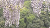 wisteria : Purple wisteria flowers swaying in the wind in front of green forest Stock Footage