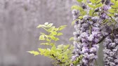 wisteria : Double purple wisteria flowers in front of flower blurs