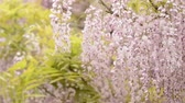 wisteria : Red purple wisteria flowers swaying in the wind in front of fresh green leaves Stock Footage