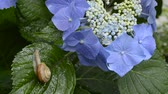 wood : Snail climbing up a leaf and blue lacecap hydrangea flowers
