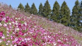 kosmos : Pink cosmos flower field in front of lined conifer trees