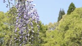 wisteria : Purple wisteria flowers in front of green forest under sky
