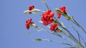 goździk : Bright red carnation flowers under blue sky