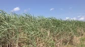 subtropics : Green sugarcane field under blue sky in Ishigaki island