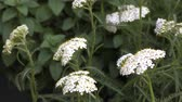 растения : White yarrow flowers in front of green plants Стоковые видеозаписи