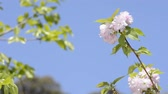 Pink double cherry blossoms in front of green leaves under blue sky