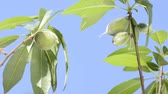 horticultura : Branch of almond tree with immature fruit under blue sky Stock Footage