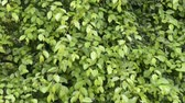 Green zelkova branches with leaves swaying in the wind Стоковые видеозаписи