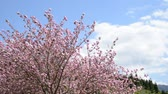 Double cherry blossoms on the left side under blue sky with cloud