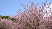 Double cherry blossoms on the right side under blue sky