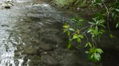 Япония : Shallow gentle brook over tree branches with green leaves