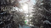 bosques : Evergreen trees with snow on branches in bright sunlight