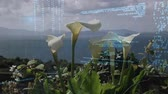 lys de la vallee : Digital composite of white calla lily flowers being blown in the wind while digital codes moves across the screen in the foreground.