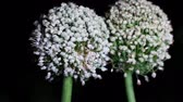 шалот : Flower of two bulbs is kisses (Allium Cepa) at night