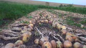 canteiro de flores : Fresh onions aired on ground Stock Footage