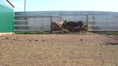 dupa : close up view of donkeys grazing in corral with wooden fence at farm Wideo