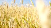 с шипами : Wheat field. Ears of golden wheat close up. Beautiful Nature Sunset Landscape. Rural Scenery under Shining Sunlight.