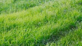 rozs : Waving green spring lawn field. Natural Background. Close up of Green grass swaying in the wind