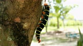 verme : Butterfly Larva in the tree branch Vídeos