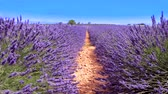 blossom : lavender in south of France, Provence