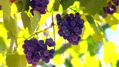 Bunches of Isabella grapes on the vine closeup Wideo