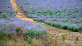 Dirt road through the blooming lavender field in the summer Wideo