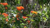 onda : Beautiful big butterfly sits on orange flower and then fly from one flower to another