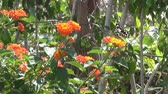 onda : Beautiful big butterfly sits on orange flower and then fly from one flower to another. Slow motion Stock Footage