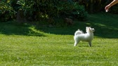 elegáns : pomeranian spitz plays with the girl on the lawn. runs and jumps. Stock mozgókép