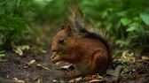 esquilo : Slow motion small red squirrel sitting on ground and eating nuts