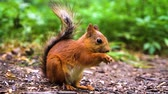 esquilo : small red squirrel sitting on ground and eating nuts