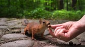 esquilo : squirrel chooses nut from the hands of girl. Green spring park background Vídeos