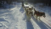polar regions : Siberian husky in a dog team. Running in the forest. Riding in sledge with a siberian husky dog team. Stock Footage