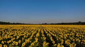 słonecznik : Aerial view of nice and yellow sunflowers on sunflower field, cinematic footage.