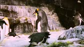 wesołe miasteczko : Orlando, Florida. March 25, 2019 Corpulent Emperor Penguin, walking among other penguins at Seaworld Theme Park-