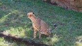 suaygırı : Tampa Bay, Florida. May 18, 2019. Cheetah turning head and walking on green meadow at Busch Gardens.