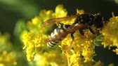 picar : wasp on yellow flowers on a sunny day. macro.