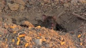 não higiênico : Big gray rat in their burrows