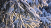 decorativo : Snow on the pine branch