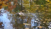 кряква : Ducks on lake in autumn day