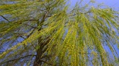 salgueiro : The branches of a Willow tree on a Sunny day