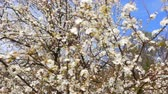 ameixa : Flowering plum tree on a Sunny day Stock Footage