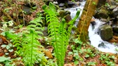 paproć : Young fern near the mountain river