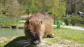 зуб : Nutria, swamp beaver by the lake on a Sunny day Стоковые видеозаписи