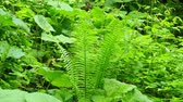 water plant : Fern in spring forest