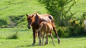 mama : Horses grazing in the field on a Sunny day Wideo
