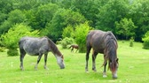 pastvisko : Horses grazing in the field on a Sunny day Dostupné videozáznamy
