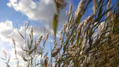 wind gust : Strong wind in the reeds Stock Footage